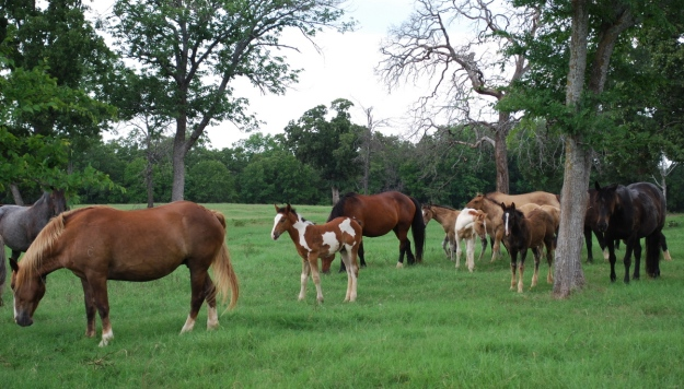More than 300 horses are part of Pete Carr's pen, and new generations of buckers are being born every year.